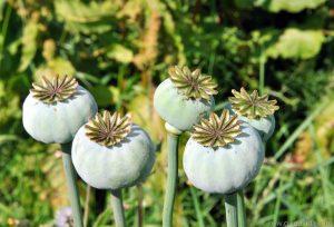 foto planta del opio en India